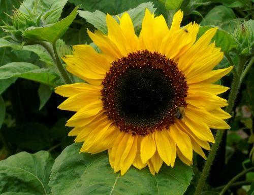 Henry Wilde Sunflower