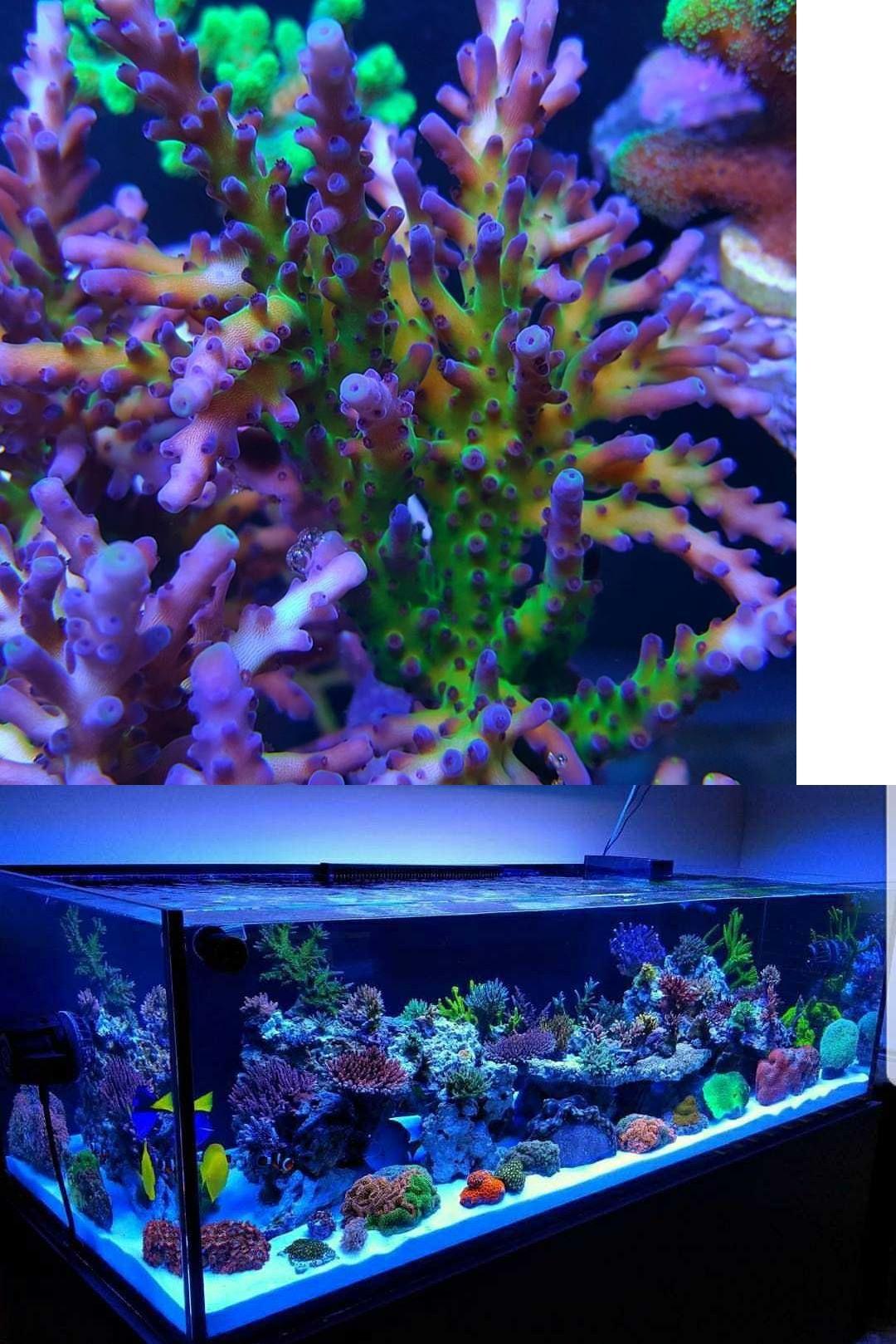Coral And Live Rock 177797 Budman S Corals Ora Tri Color