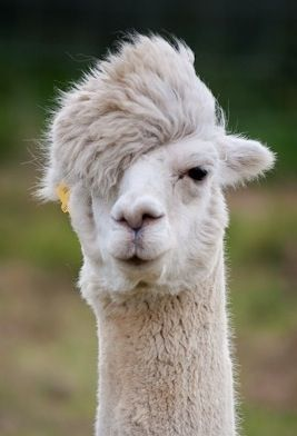 Hipster Alpaca Dude Needs To Show The Donald How It S Done Right Eat Your Heart Out Trump Funny Animal Memes Funny Animals Funny Animal Pictures