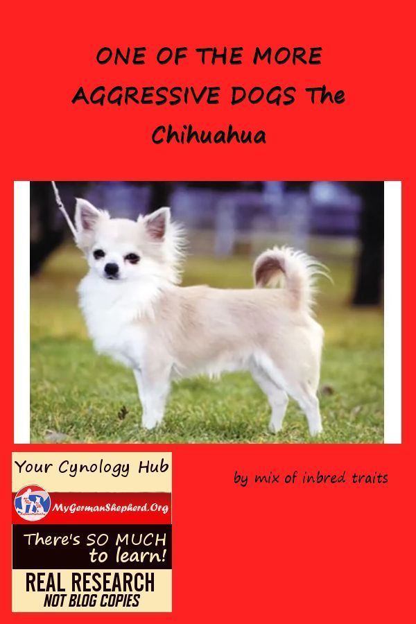 One Of The More Aggressive Dogs The Chihuahua Protective Dogs