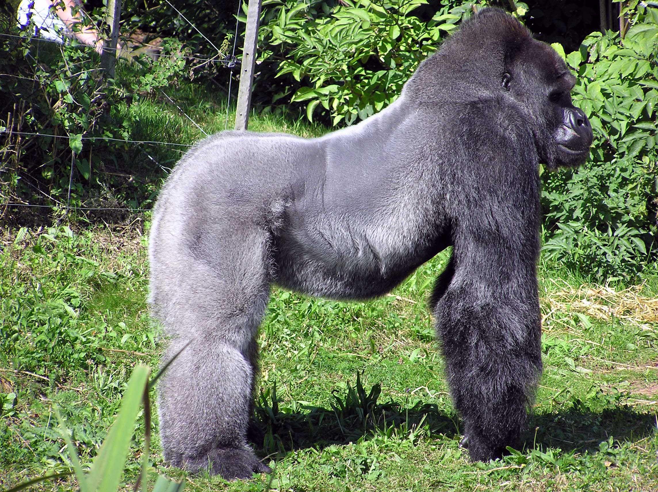 Western gorilla   Most beautiful animals, Western gorilla, Animals beautiful