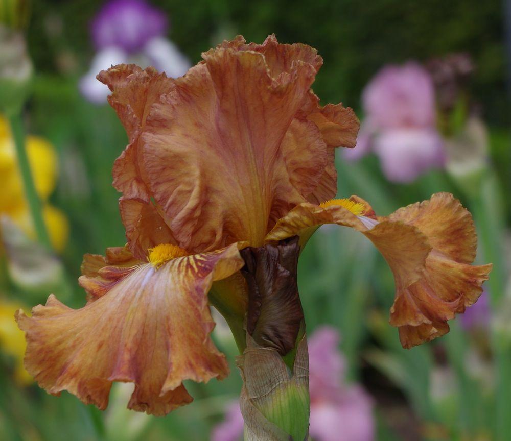 Iris Flower At The Jardins De Bagatelle Iridaceae The Iris Family
