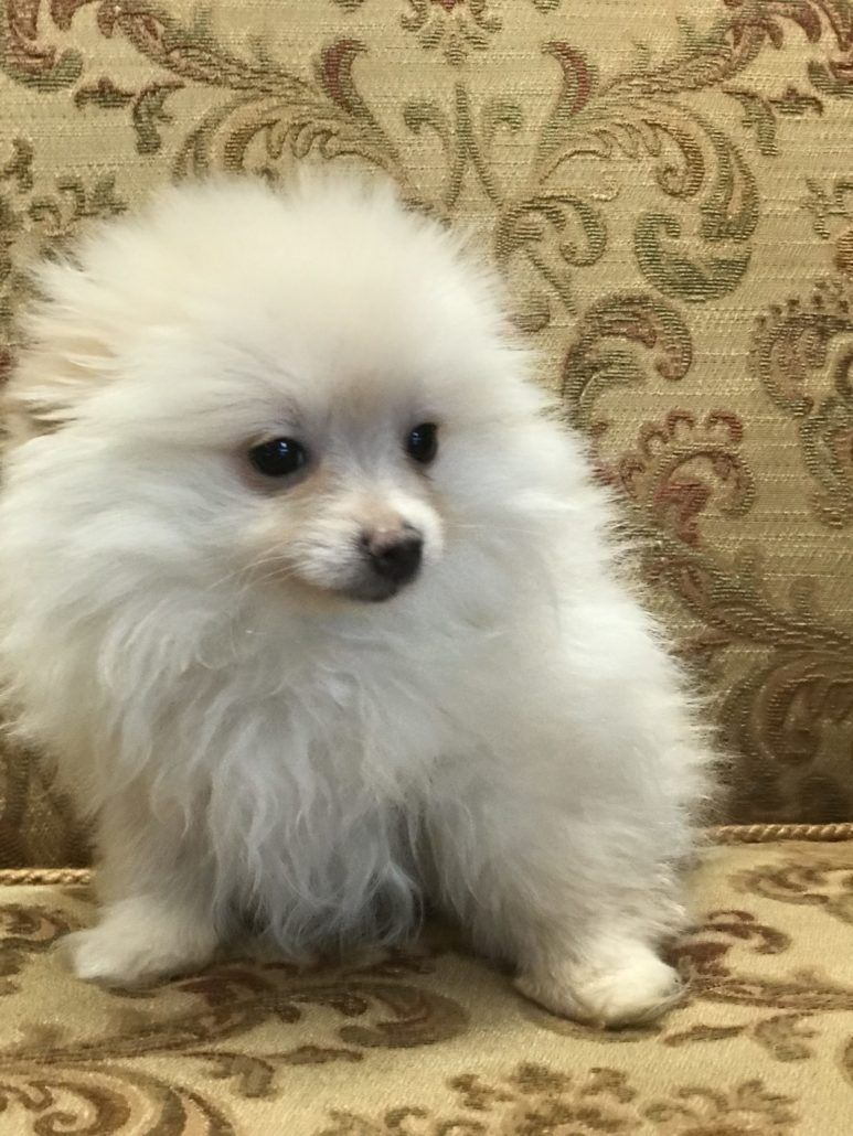 Pomeranian World Wide Puppies Puppies In North Orlando Sanford Florida Yorkiepuppyrescueflorida Pomeranian Puppy Puppies Pomeranian Dog