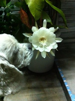 月下美人の花の香りに誘われて