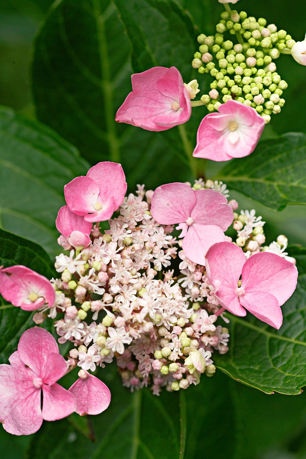 How To Choose And Care For The Most Colorful Hydrangeas In 2020 Hydrangea Care Types Of Hydrangeas Hydrangea