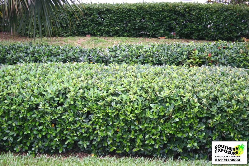 Green Island Ficus Really Like This For Hedge This Or The Cocoplum Florida Gardening Florida Native Plants Front Porch Landscape