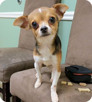 Chihuahua Beagle Mix Dog For Adoption In Austin Texas Nugget