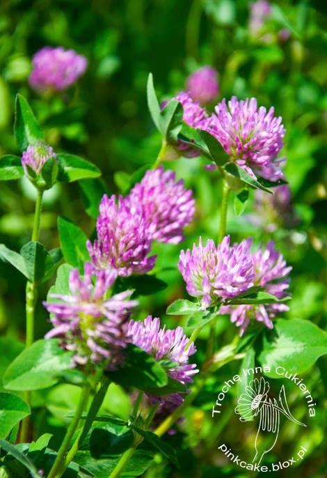 Koniczyna Polna Koniczyna Czerwona Jadalne Kwiaty Jadalne Dzikie Rosliny Plants Begonia Natural Remedies