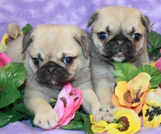 Cute Pug Puppies Cute Pug Puppies Cute Pugs