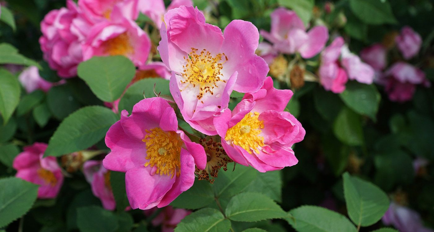 North Dakota State Flower The Wild Prairie Rose