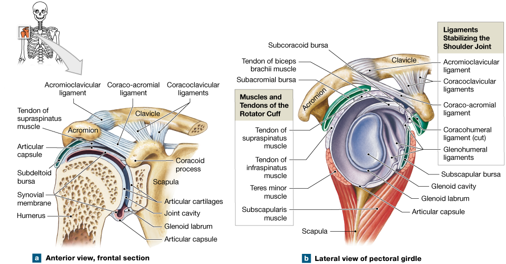 96 The Shoulder And Hip Are Both Ball And Socket Joints Medical