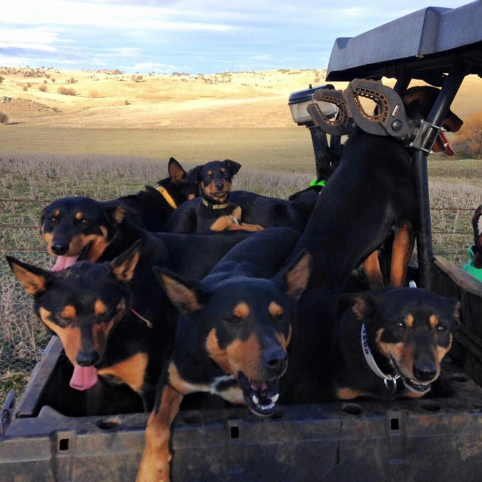 Black And Tan Australian Kelpies Aussie Dogs Australian Kelpie