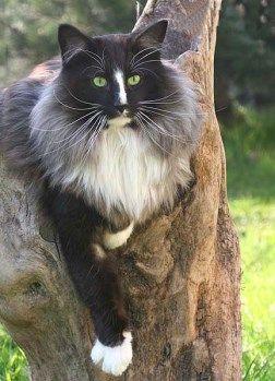 ผลการค้นหารูปภาพสำหรับ black smoke norwegian forest cat