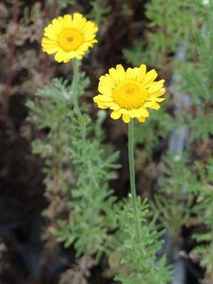Färberkamille Anthemis tinctoria Lebenszyklus zweijährig