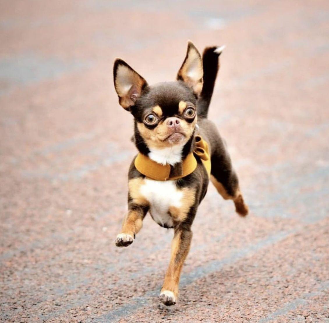 Chihuahua Dog Chiwawa Dog Information Chihuahua Dogs Animal