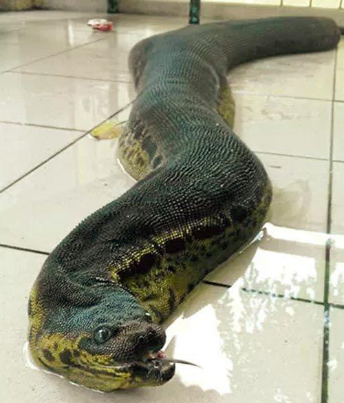 A Cobra Mais Estranha Do Mundo Cobras Serpente Estranho