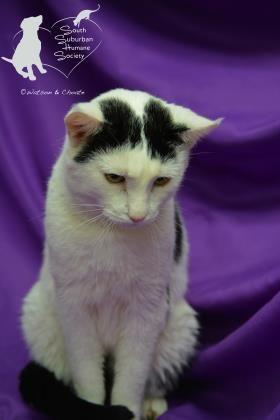 Uranus Adoptable Cat From Sshs Chicago Heights Il Cat Adoption Animals Humane Society