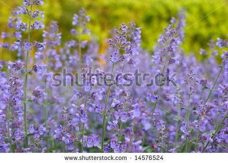 Field Of Purple Wildflowers Maryland What Are They Purple Wildflowers Wild Flowers Stock Photos