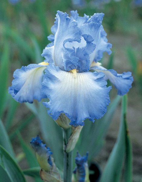 Cloud Ballet Fragrant Iris Iris Flowers Iris Garden Flowers Perennials