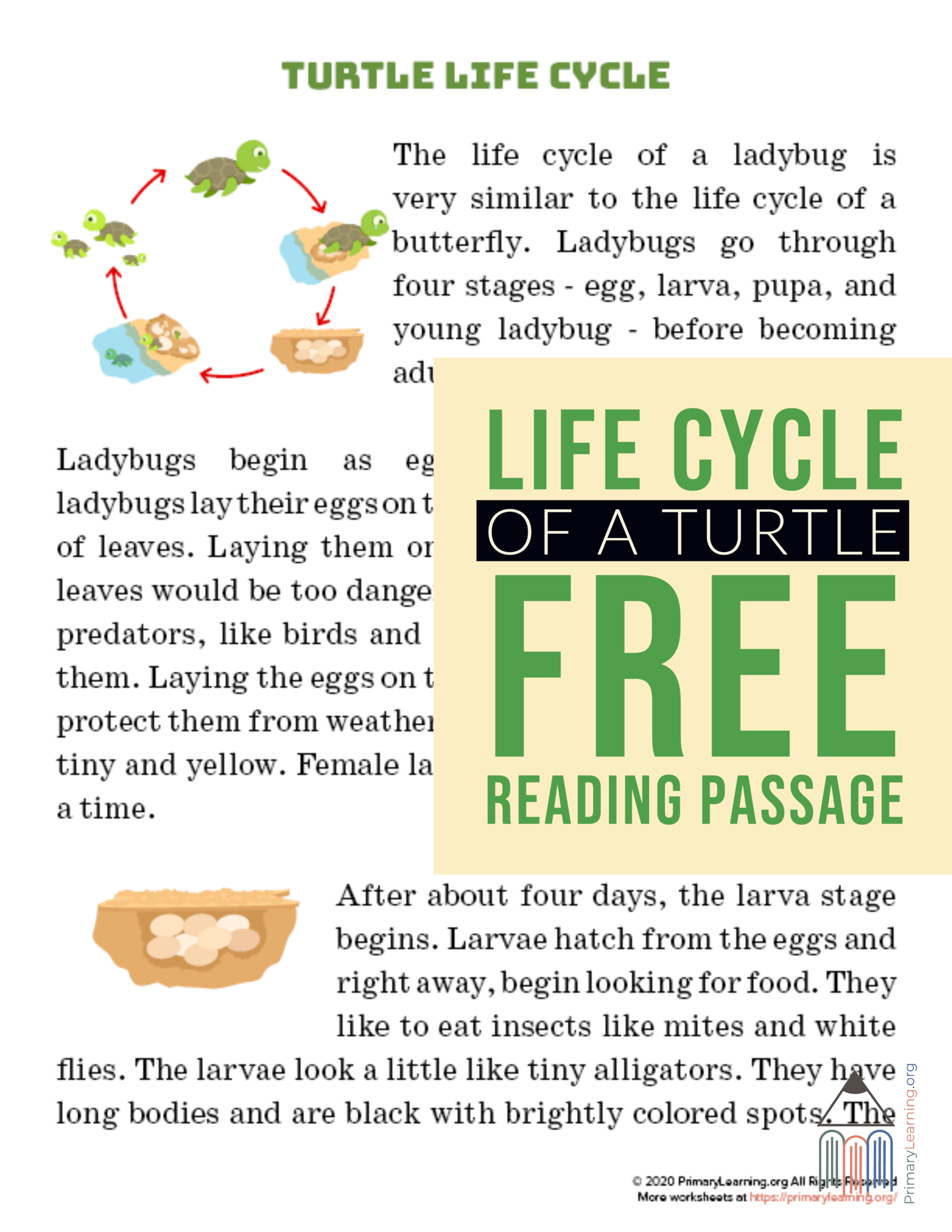 Turtle Life Cycle Article In With Images