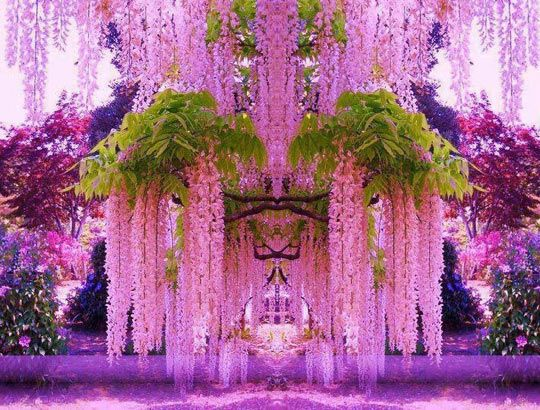 A Purple Wisteria Flower Garden In Japan Wisteria Garden Purple Wisteria Beautiful Flowers
