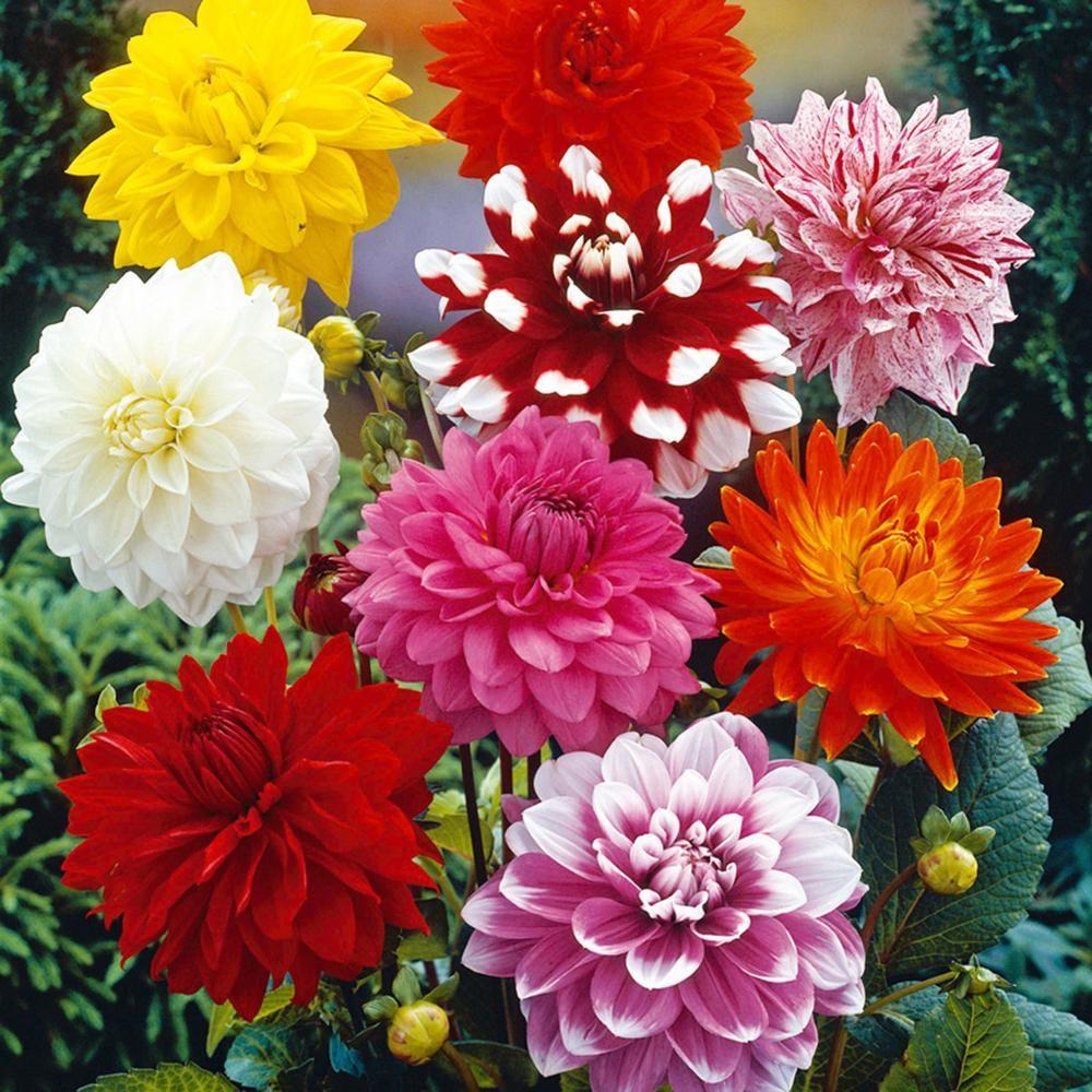 Van Zyverden Dahlias Decorative Mixed Bulbs Set Of 7 11218 The Home Depot In 2020 Bulb Flowers Garden Flowers Perennials Shade Garden Design