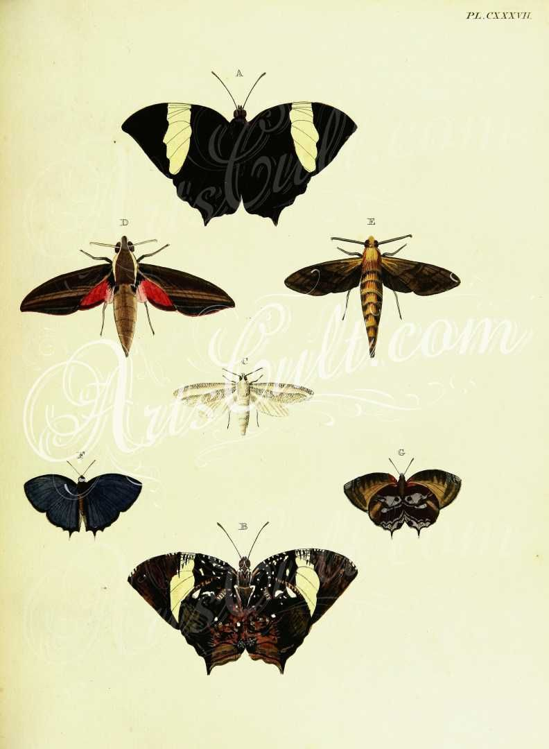 SCIENTIFIC ILLUSTRATION INSECTS MOTHS FINE ART PRINT POSTER CC1852