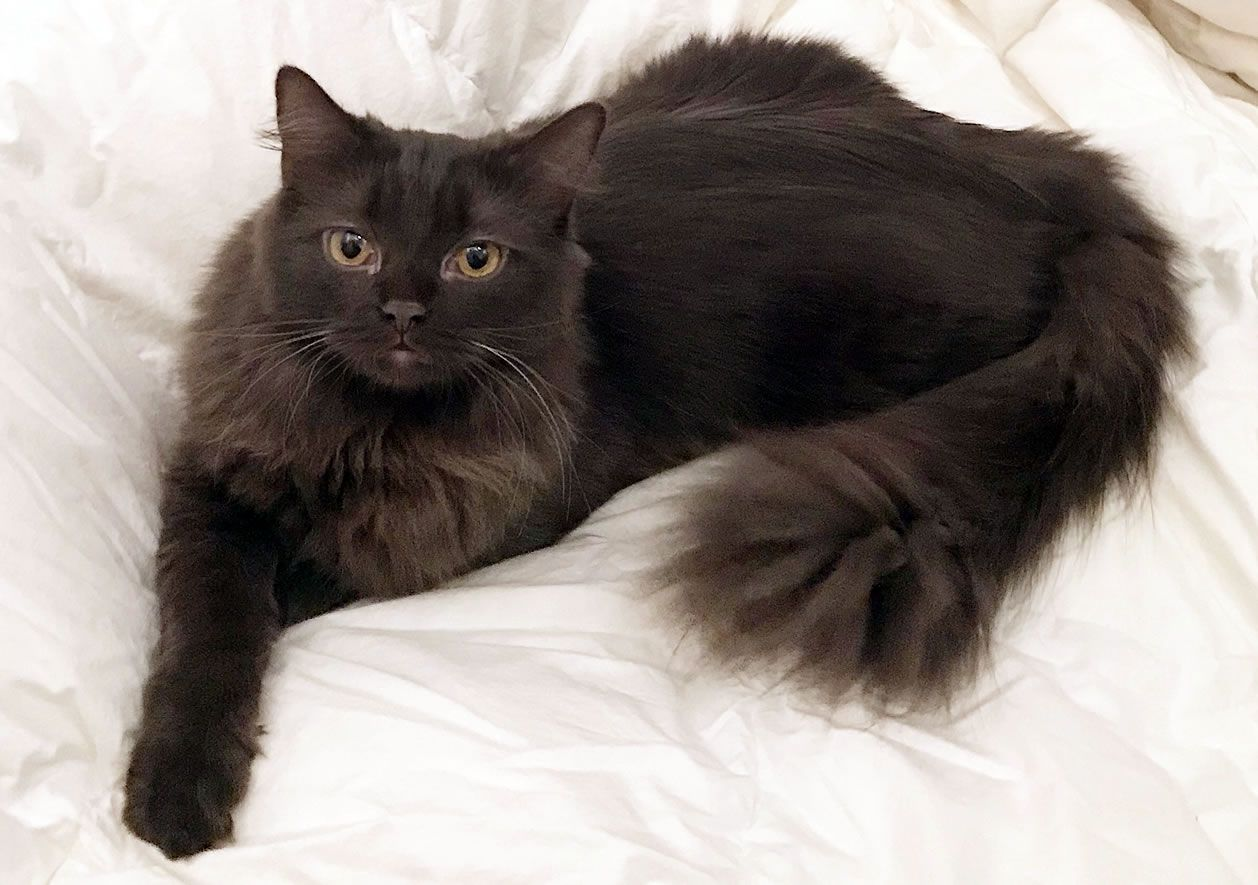 The York Chocolate Cat has a long, fluffy coat and a
