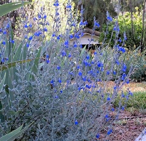Salvia chamaedryoides california native plant