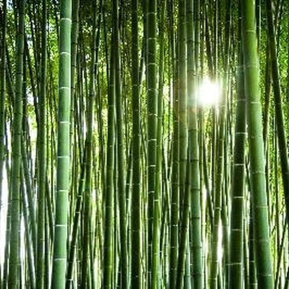 Bamboo grows quickly and will re-establish itself from cuttings.