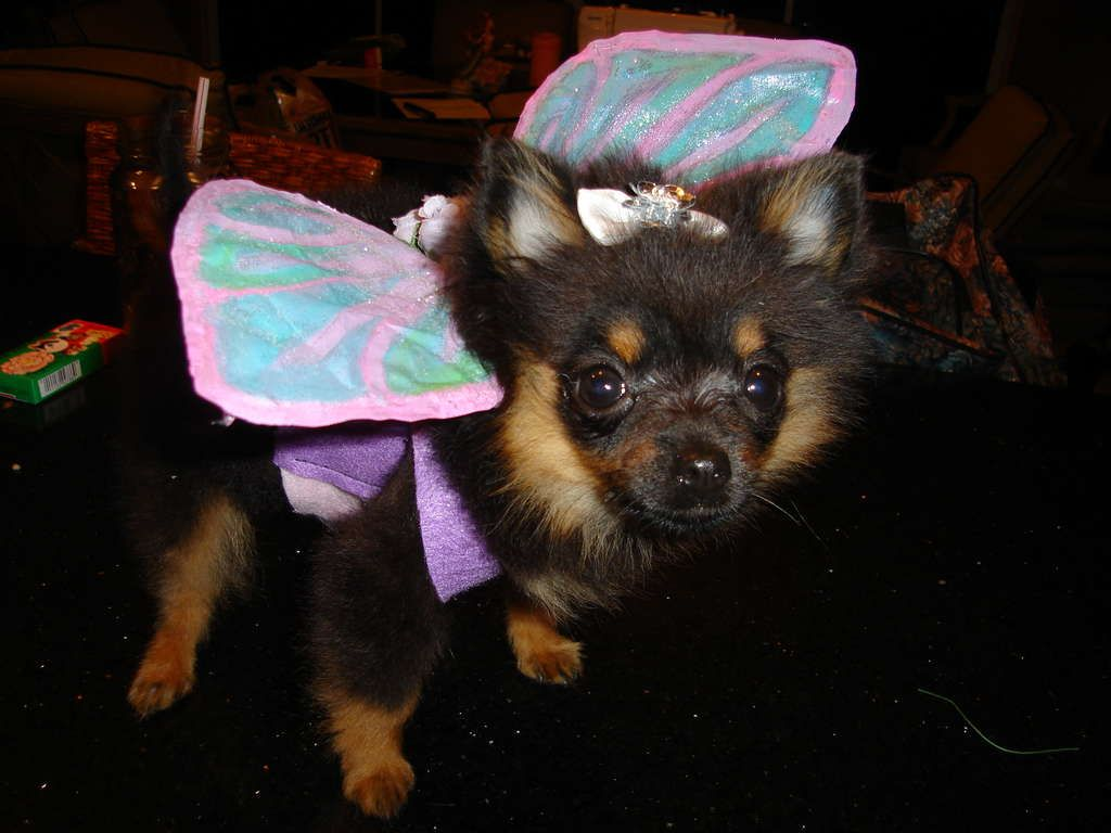 DIY Dog Fairy Wing for an adorable Halloween Costume.