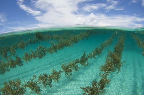 Commercial Seaweed Farm in Offing | Nori in 2019 | Commercial
