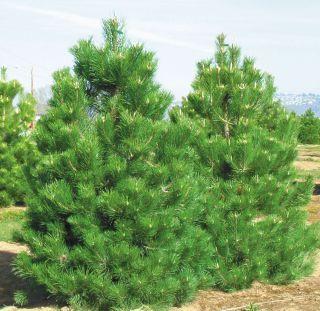 pin conifers