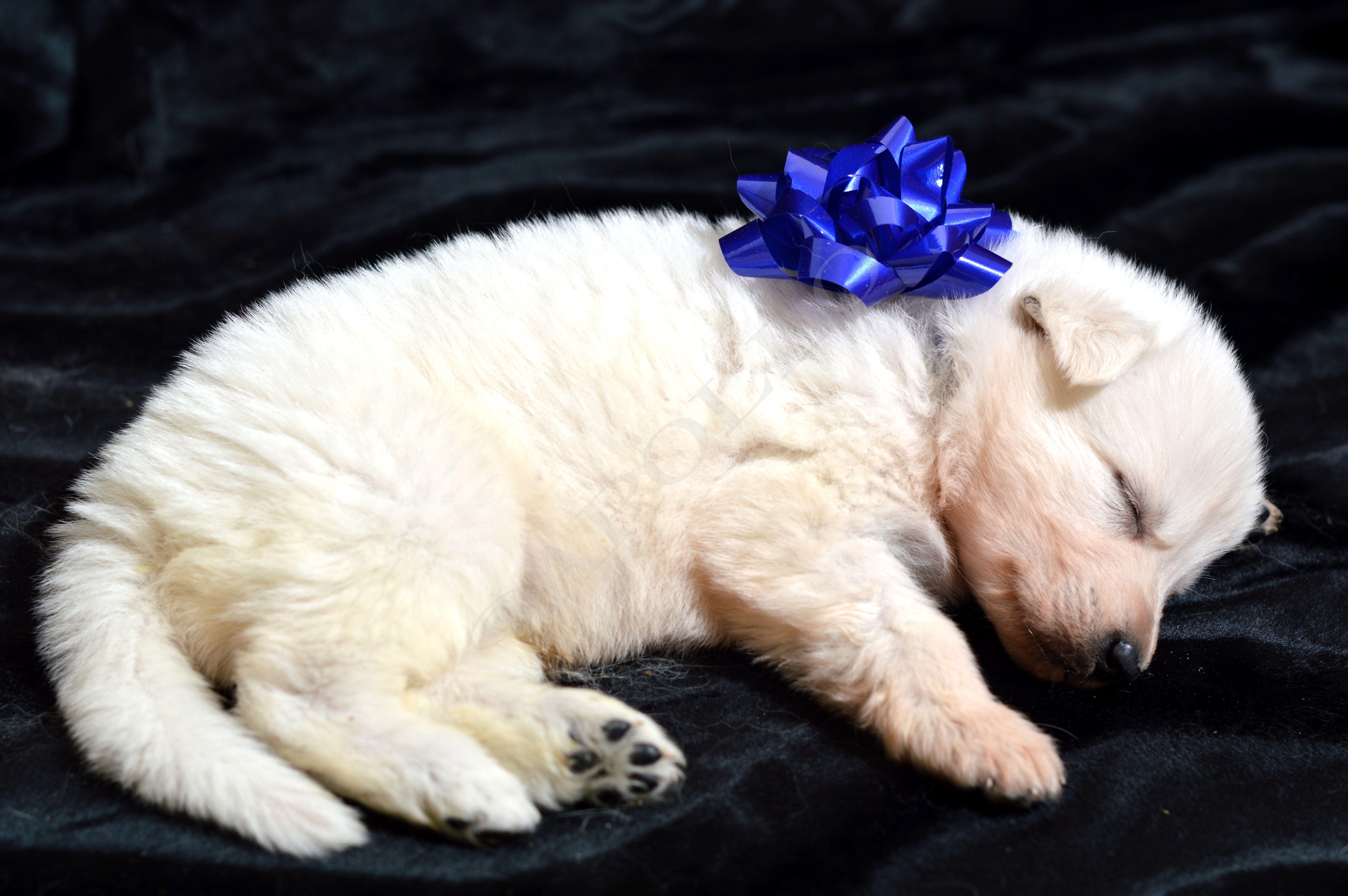 Litter 3 White German Shepherd puppies.