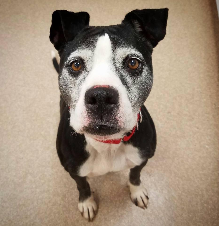 Adopt Kiki On Petfinder Dog Adoption Pet Adoption Pitbull Terrier