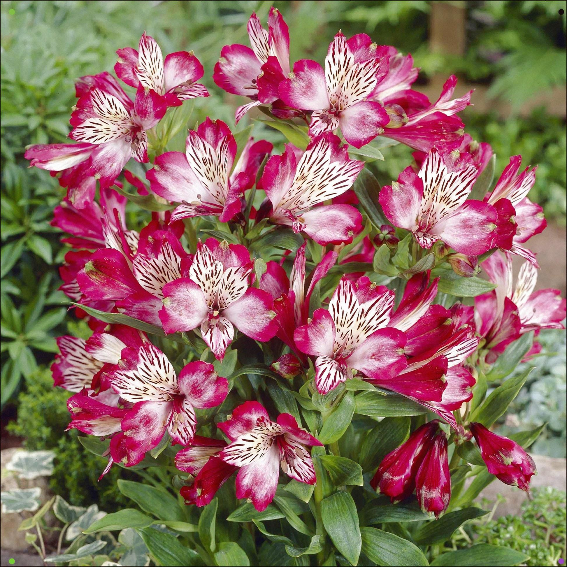 Alstroemeria Blooms Spring Through Fall Happy In Moist Deep Loam Irrigate In Spring And Summer Full Sun In Coast Peruvian Lilies Flower Seeds Alstroemeria