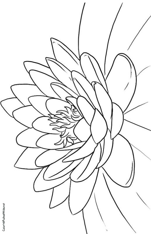 lotus flower coloring pages title=  flower coloring pages
