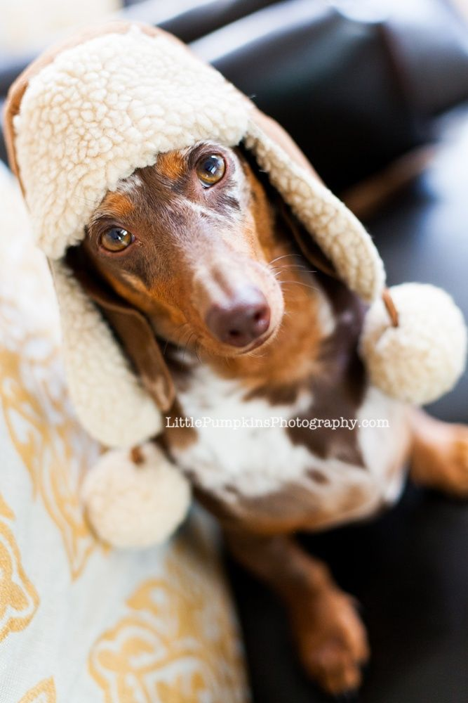 Doxie Sporting His New Winter Hat Dapple Dachshund Dachshund
