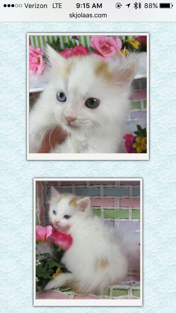 Odd Eye Kitten At Exotic Foldscom Scottish Fold Kittens And