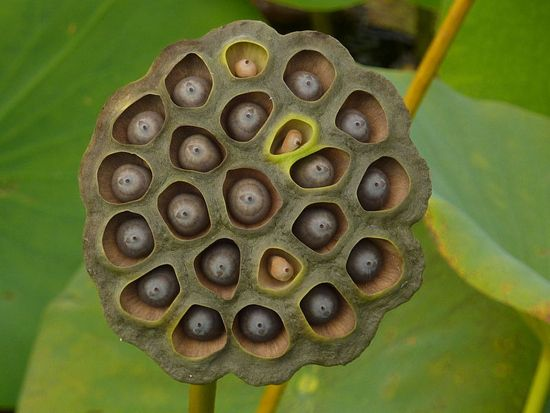 Ever Hear Of A Lotus Pod It Looks Like This Lotus Pods