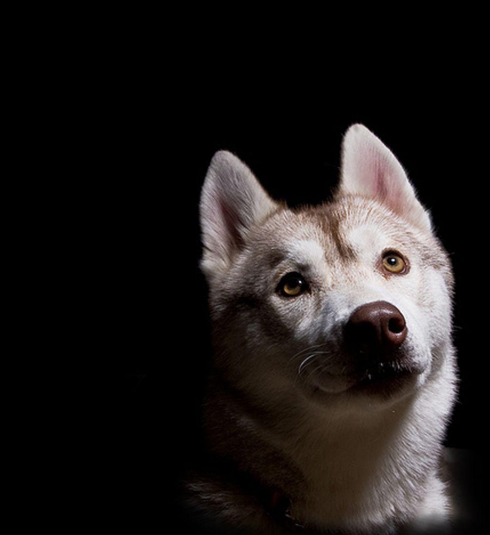 AKC Siberian Husky puppies Bakersfield California - Shedenara ... | Siberian Husky Puppies Bakersfield Ca
