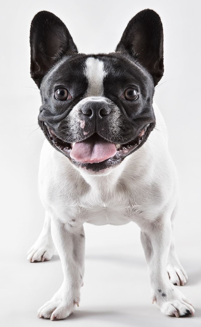 Stella The Frenchie from Chicago cutepuppyvideos2016