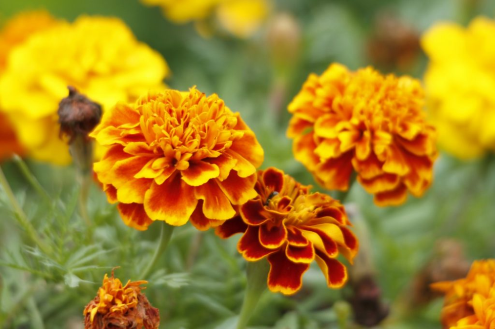 varigated marigold Google Search in 2020 Birth flowers