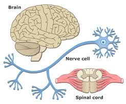 Brain nerves and spinal cord all parts of the nervous system cc an online study guide to learn about the structure and function of the nervous system using interactive animations and diagrams ccuart Image collections