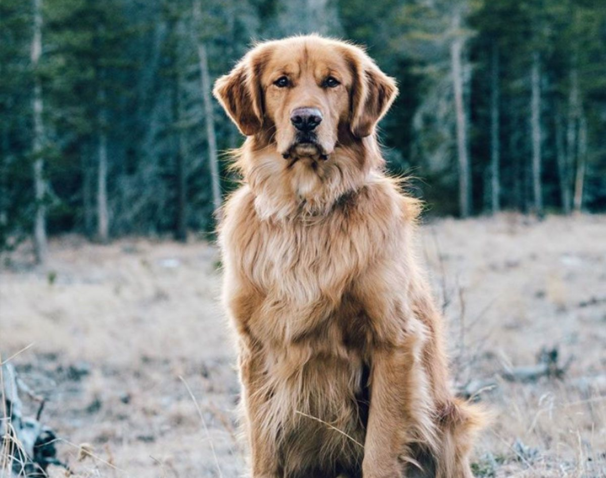 How To Keep Your Golden Retriever S Skin And Coat Healthy Dogs