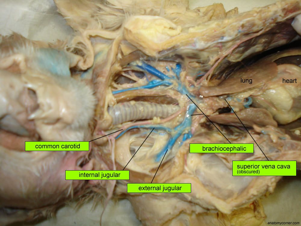 Major Arteries and Veins of the Cat | Anatomy Corner | Anatomy ...