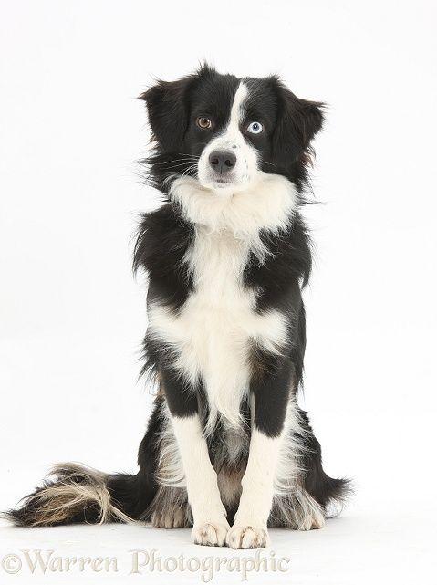 Black And White Mini American Shepherd Dog Dog Breeds American