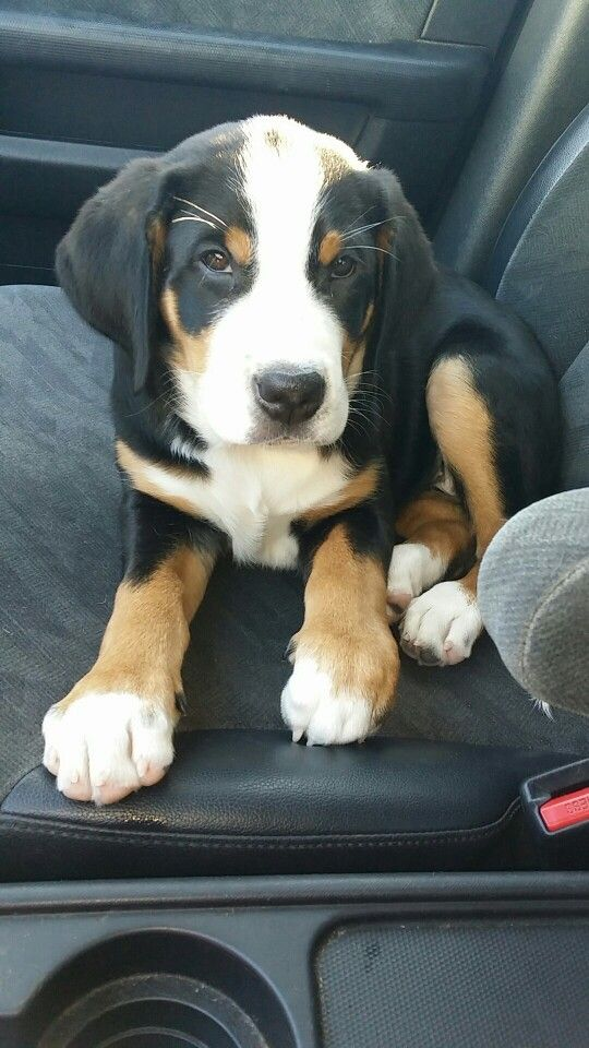 Zuzu 11 Week Old Greater Swiss Mountain Dog Swiss Mountain Dogs