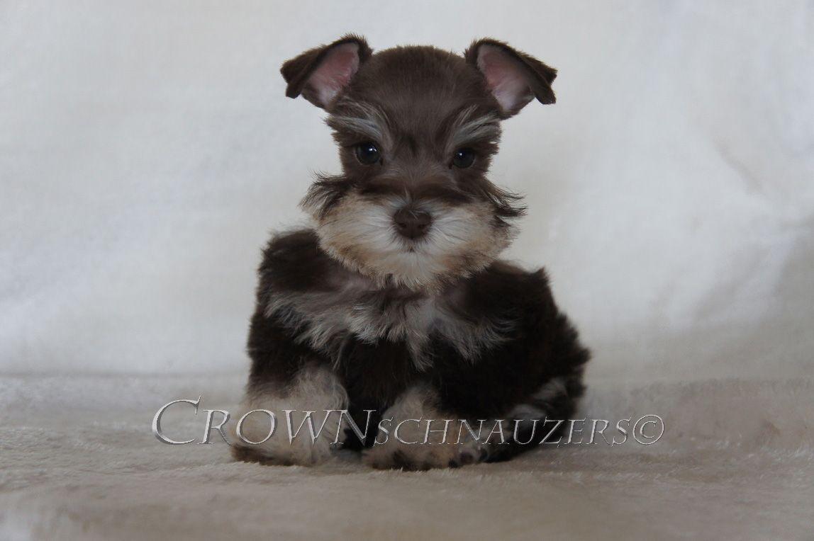 Crown Schnauzers Teacup Toy And Miniature Schnauzers Reno Nevada Schnauzer Puppy Dog Breeds Miniature Schnauzer