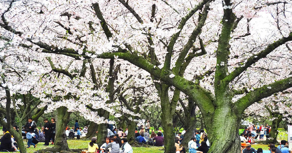 Toronto S High Park Cherry Blossoms Are Now In Full Bloom Toronto High Park Toronto Cherry Blossom